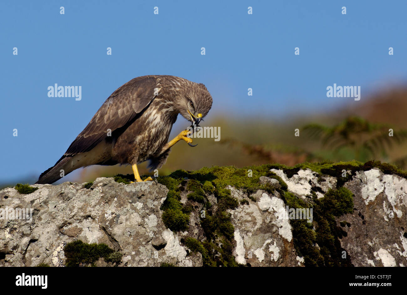 BUZZARD Buteo buteo A confiding adult grooming itself with its talons on a roadside rock. October  Isle of Mull, - Stock Image