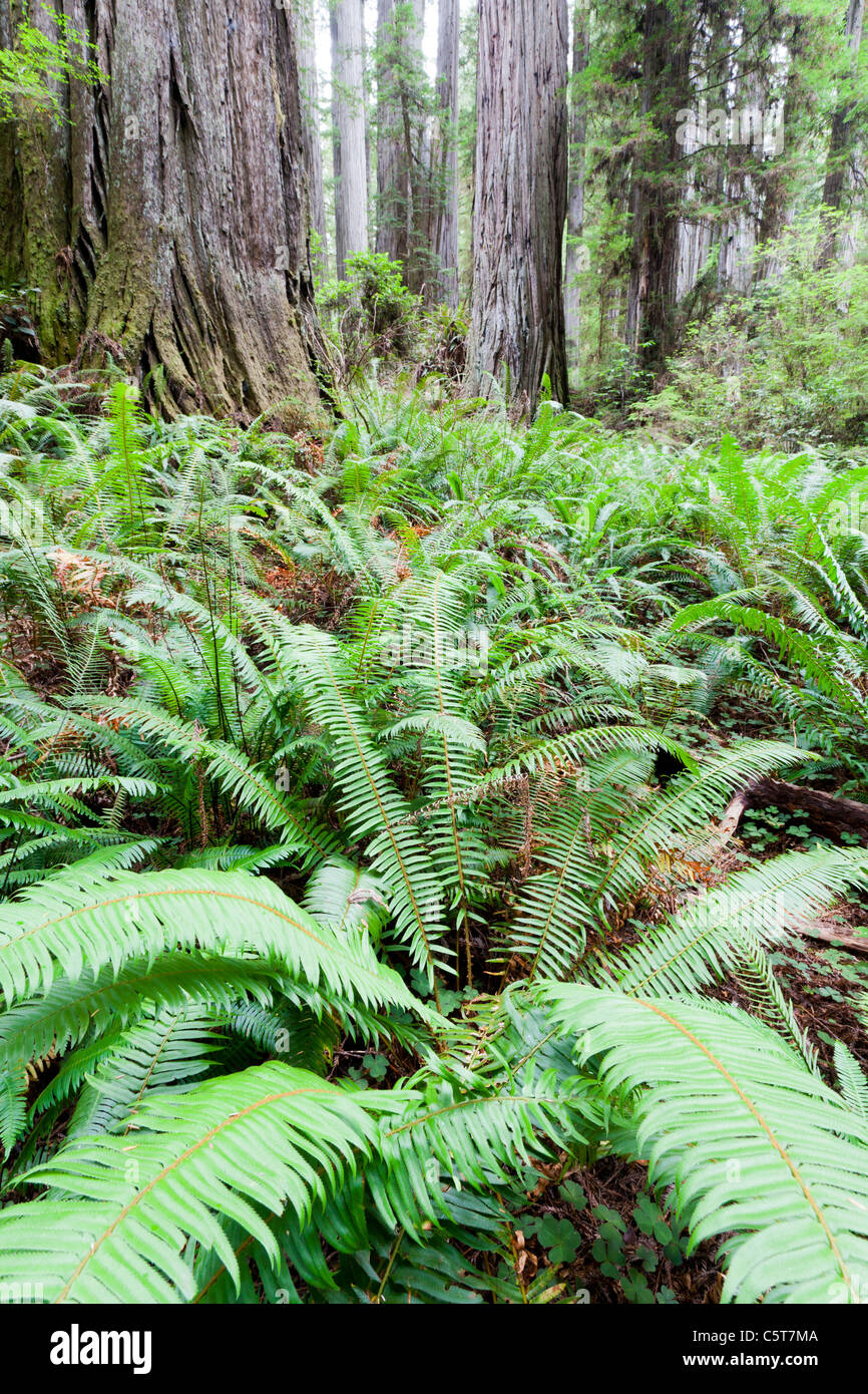 Redwood Trees and ferns on Boy Scout Tree Trail California USA - Stock Image