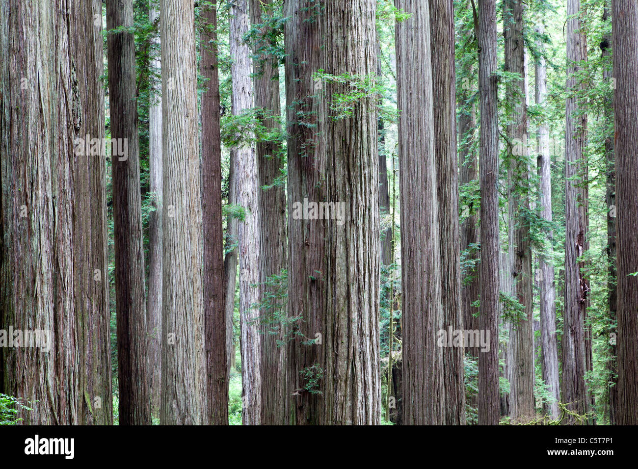 Redwood Trees on Boy Scout Tree Trail California USA - Stock Image