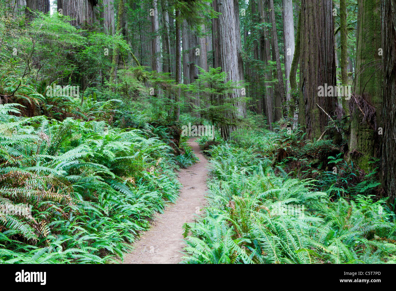 Path on Redwood Tree on Boy Scout Tree Trail California USA - Stock Image