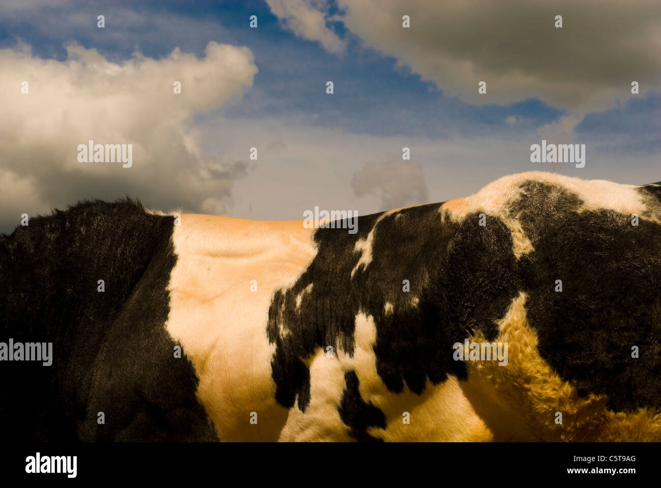 British blue bull muscular back Stock Photo