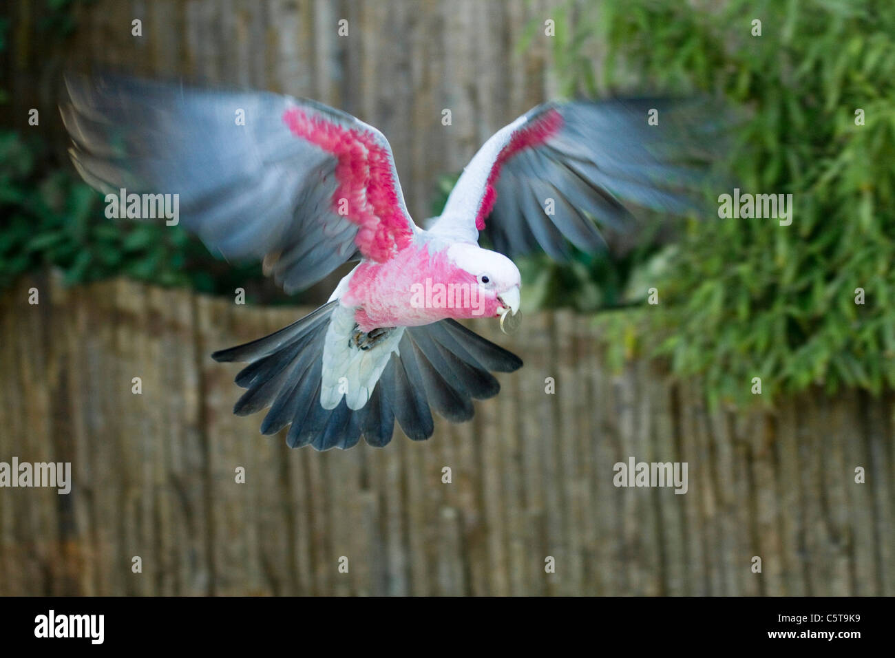 Roseate Cockatoo; Eolophus roseicapilla; carrying a pound coin; Paradise Park; Cornwall; UK - Stock Image