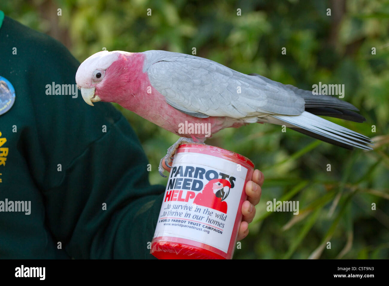 Roseate Cockatoo; Eolophus roseicapilla; collecting tin; Paradise Park; Cornwall; UK; money for parrot charity - Stock Image