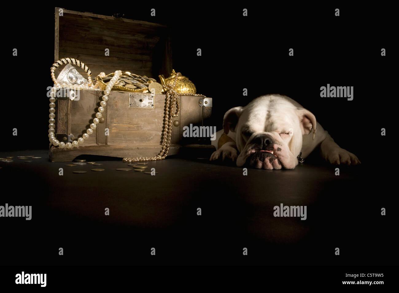Bulldog sleeping next treasure chest - Stock Image