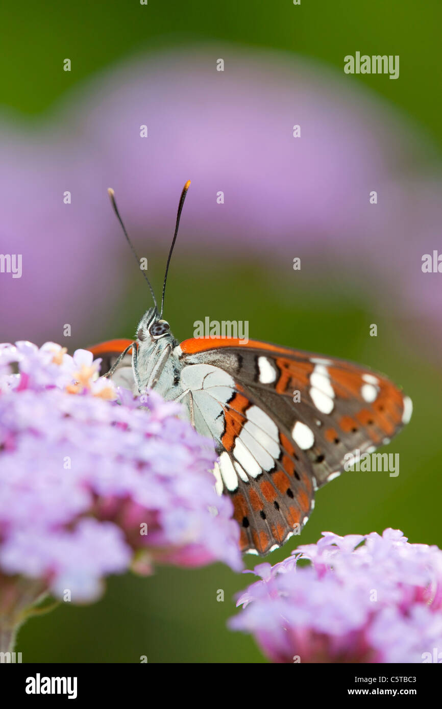 Southern White Admiral Butterfly; Limenitis reducta; captive on verbena - Stock Image