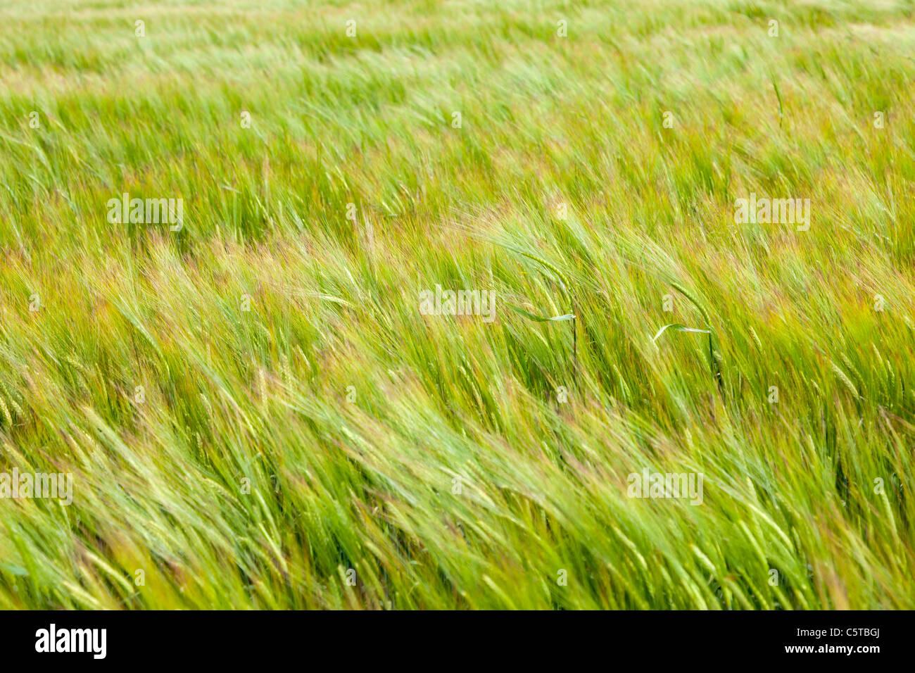 Wheat ripening the the field Cornwall UK - Stock Image