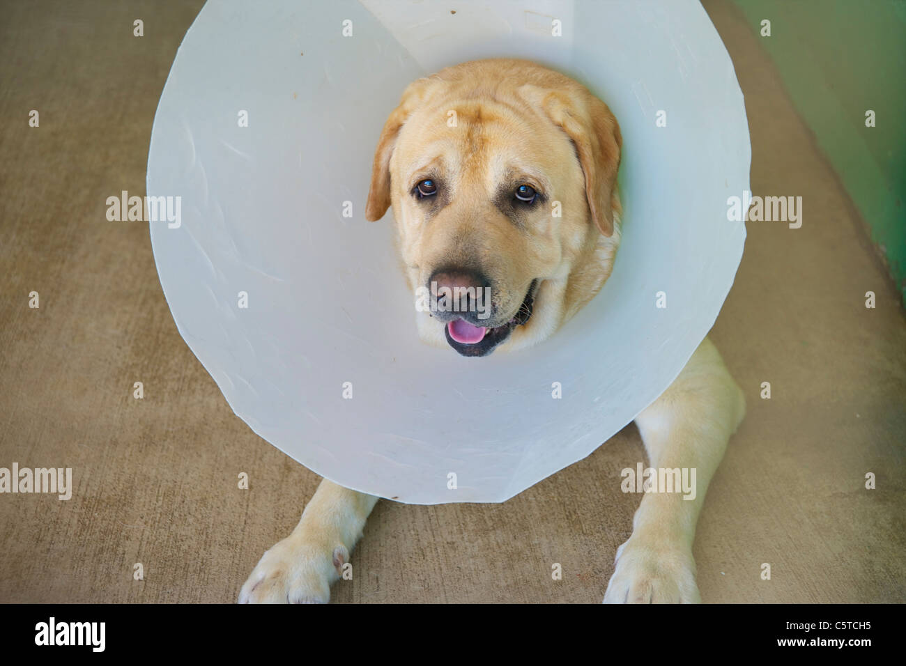 cone of shame stock photos cone of shame stock images alamy