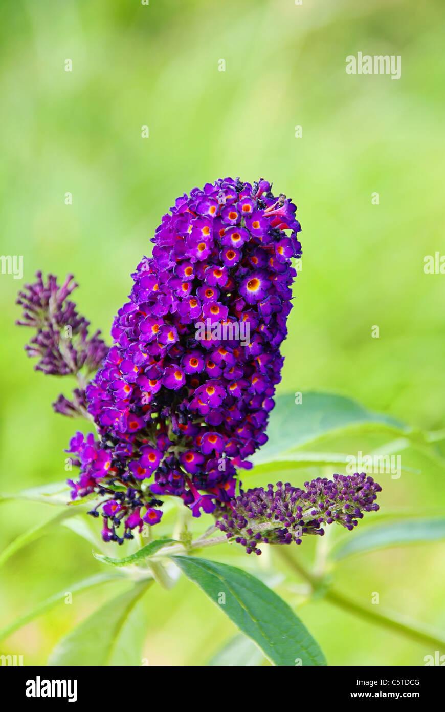 Sommerflieder - butterfly bush 02 - Stock Image