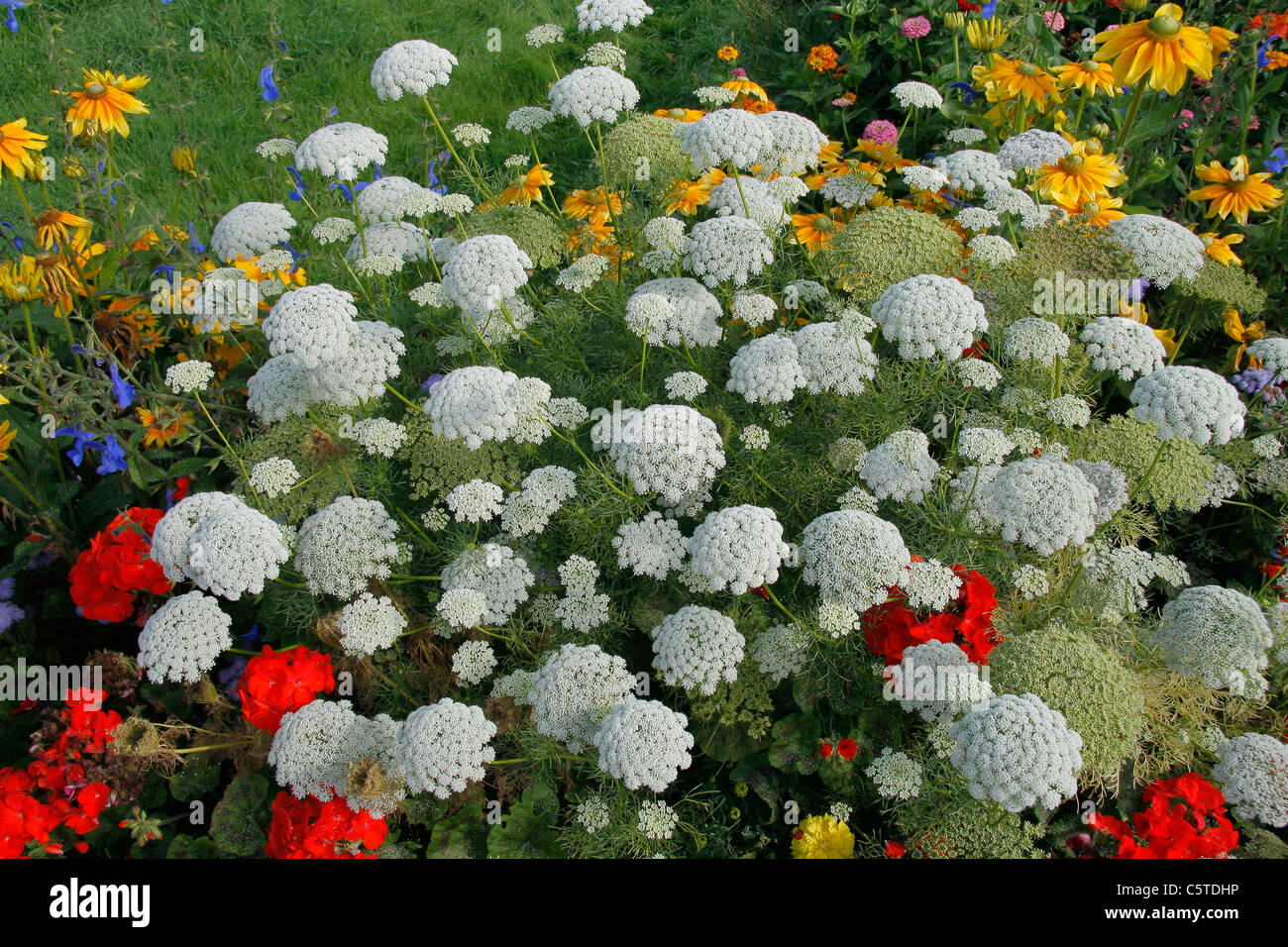 """Annual flower bed : Ammi """"Queen of Africa"""" (Ammi majus). Stock Photo"""