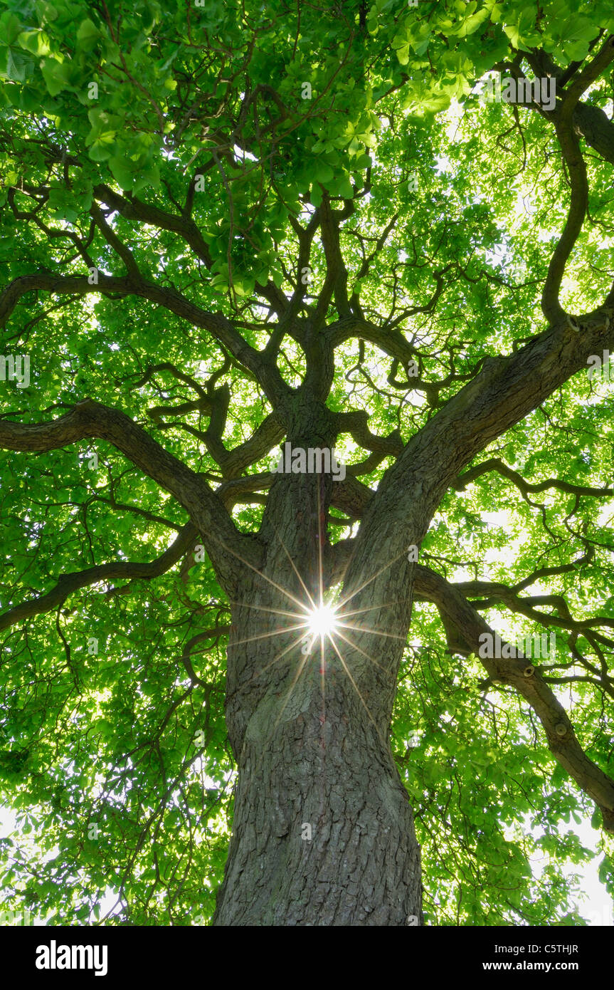 Germany, Mecklenburg-Western Pomerania, Chestnut Tree (Aesculus hippocastanum) with sun and sunbeams, low angle - Stock Image