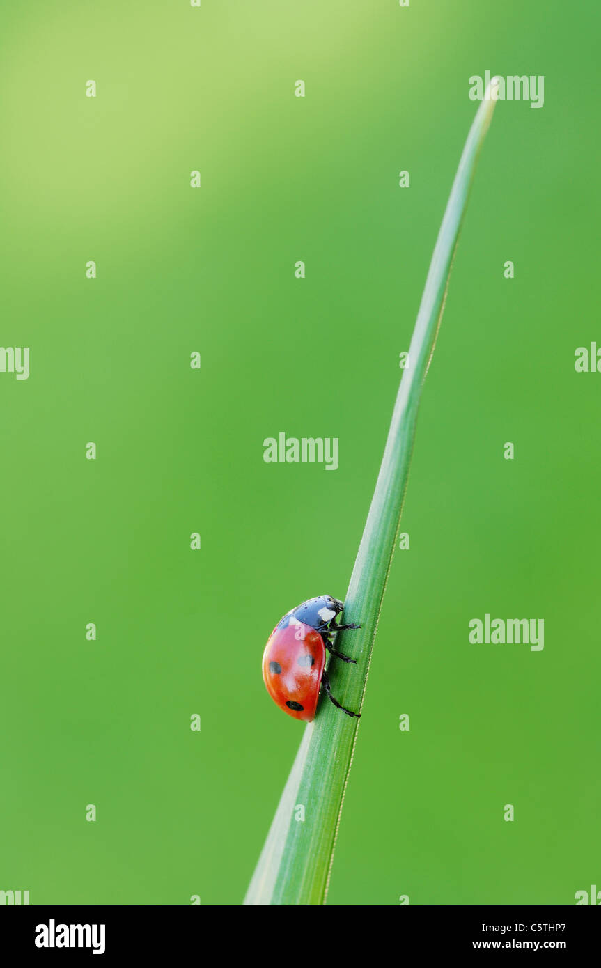 Germany, Bavaria, Seven-spot Ladybird (Coccinella septempunctata) on blade of grass, close up Stock Photo