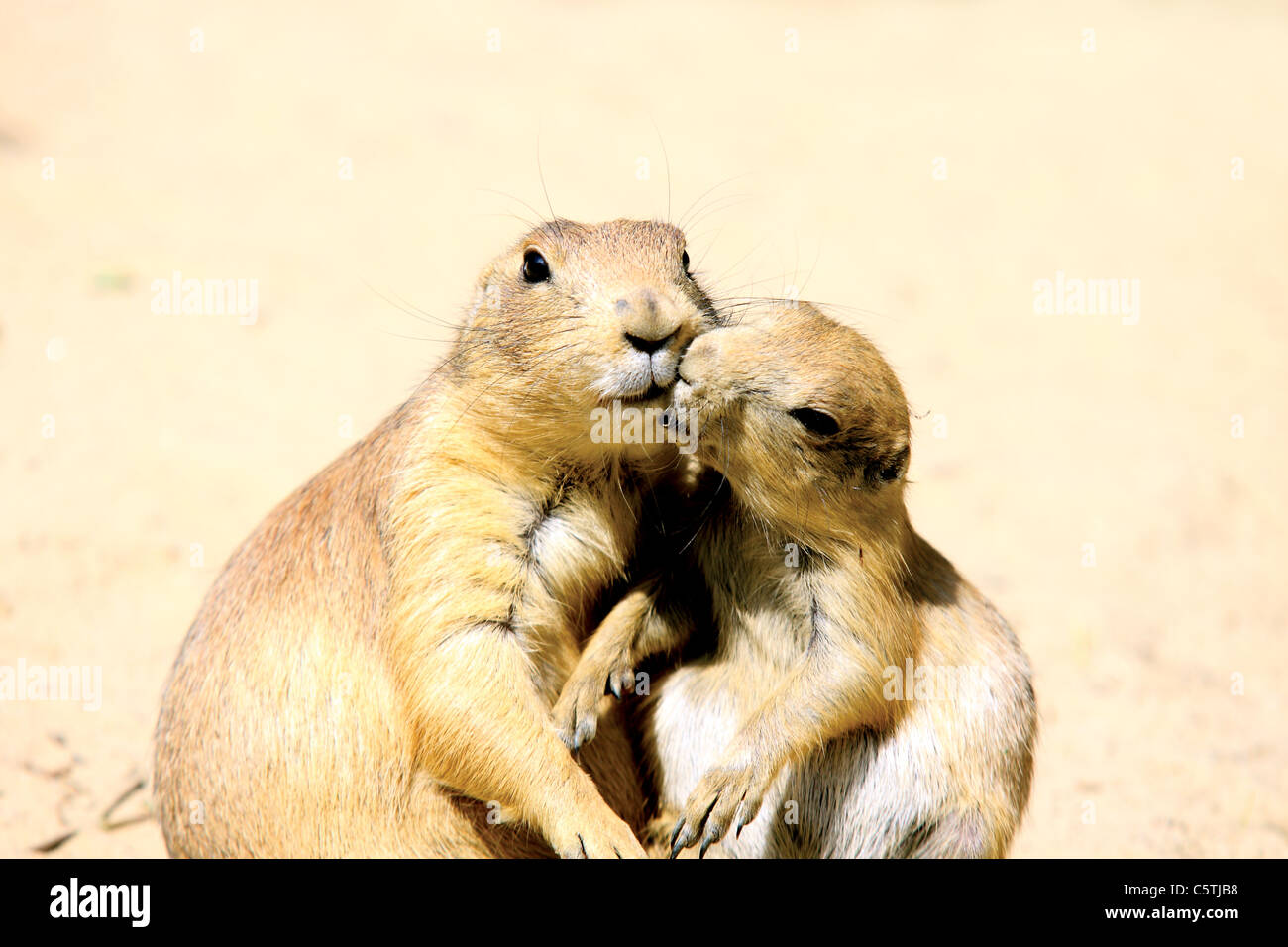 two lovely kissing marmots close up - Stock Image