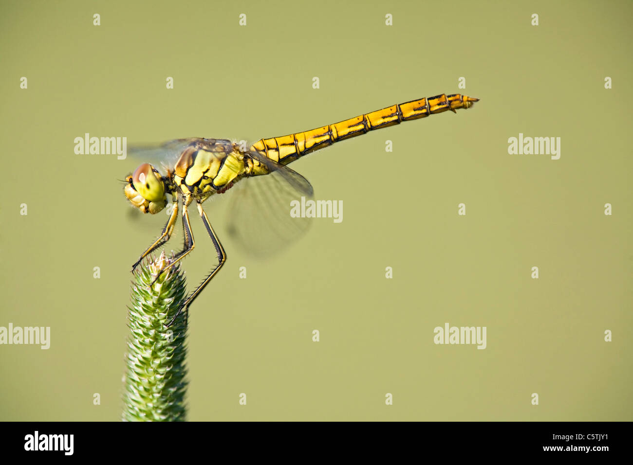 Dragonfly (Sympetrum) on grass Stock Photo