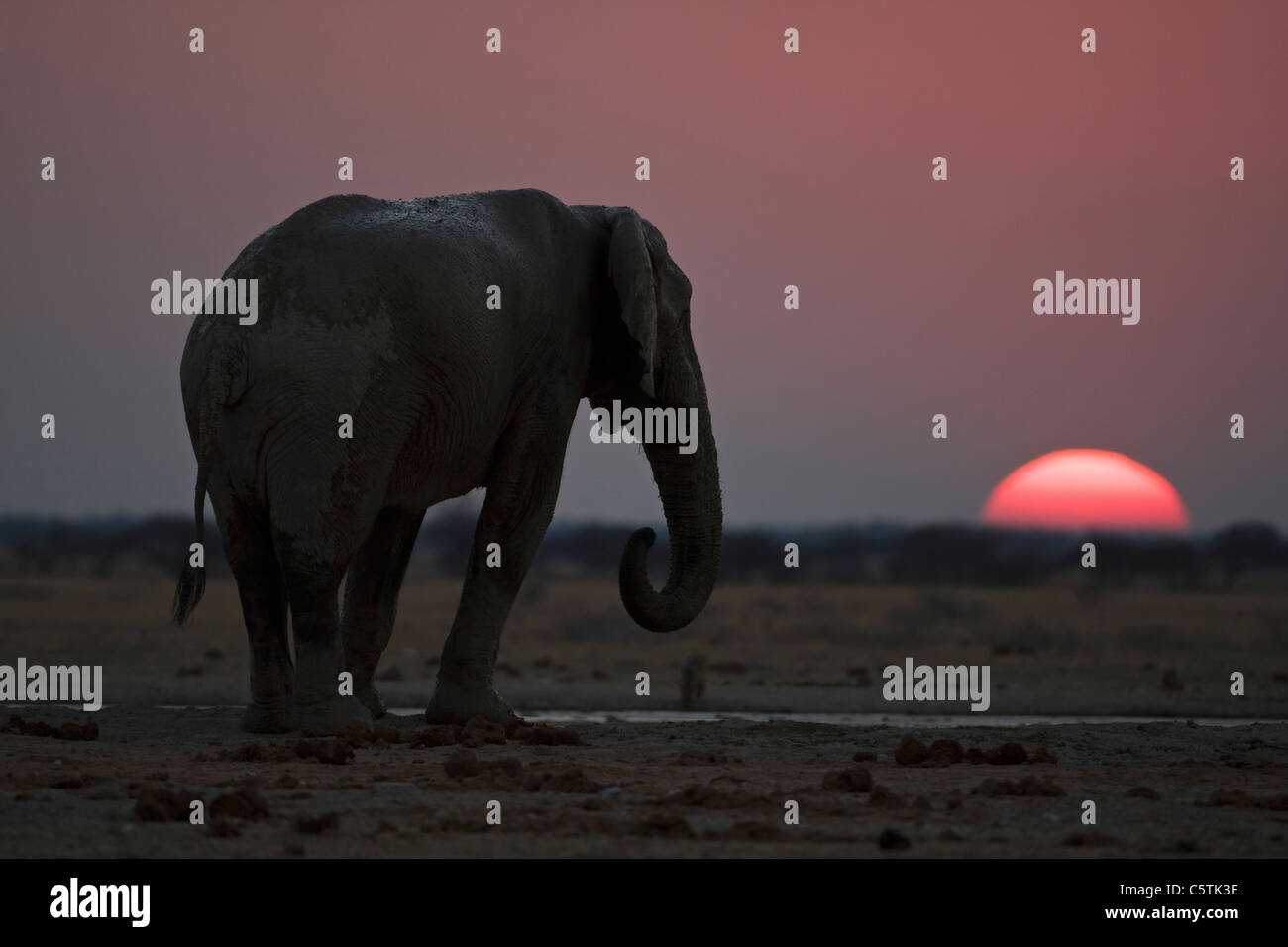 Africa, Botswana, African elephant (Loxodonta africana) at sunset - Stock Image
