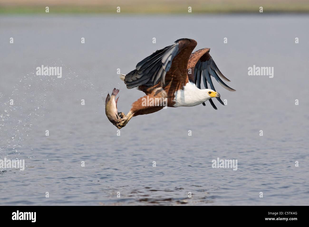 Africa, Botswana, African fish eagle (Haliaeetus vocifer) with catch, taking flight Stock Photo