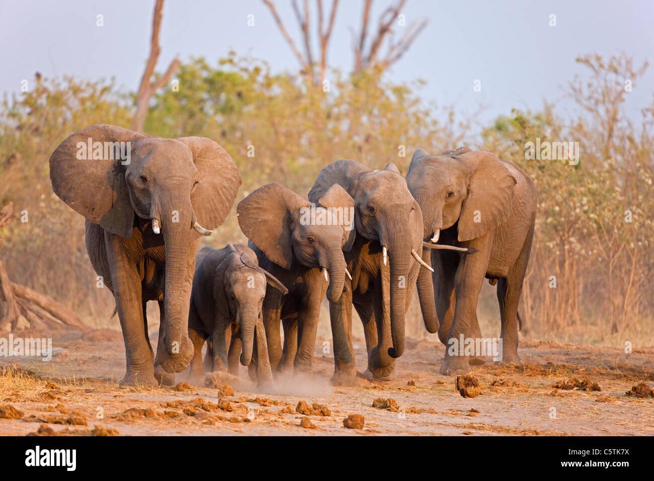 Africa, Botswana, Elephant Herd  (Loxodonta africana) Walking - Stock Image