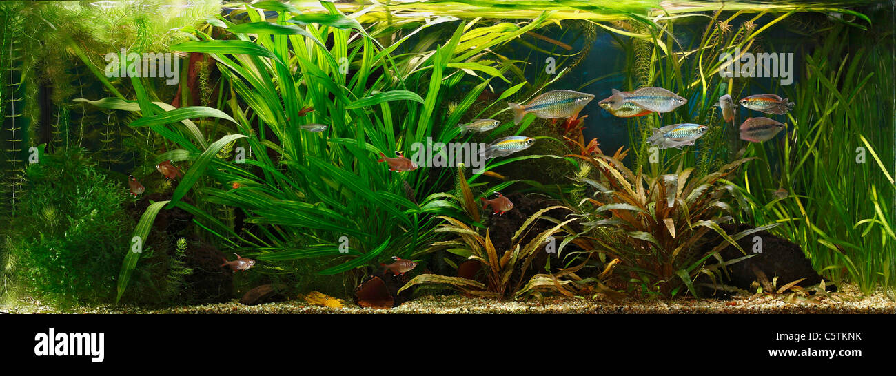 Germany, Fish swimming in fresh water aquarium Stock Photo
