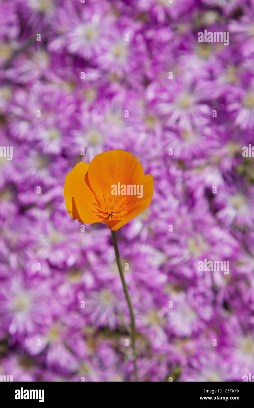 USA, California, California poppy (Escholzia California) - Stock Image
