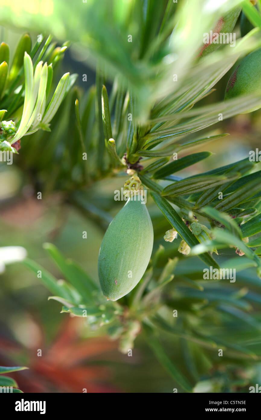 Cephalotaxus Harringtonia drupacea. Cowtail Pine or Japanese Plum Yew fruit - Stock Image