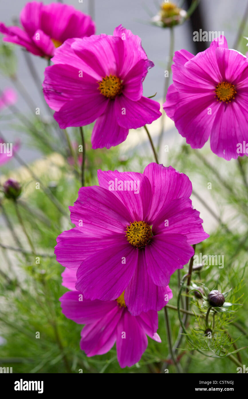 Cosmos bipinnatus pink flower with yellow centre popular summer cosmos bipinnatus pink flower with yellow centre popular summer bedding flower forms neat feathery bushes mightylinksfo