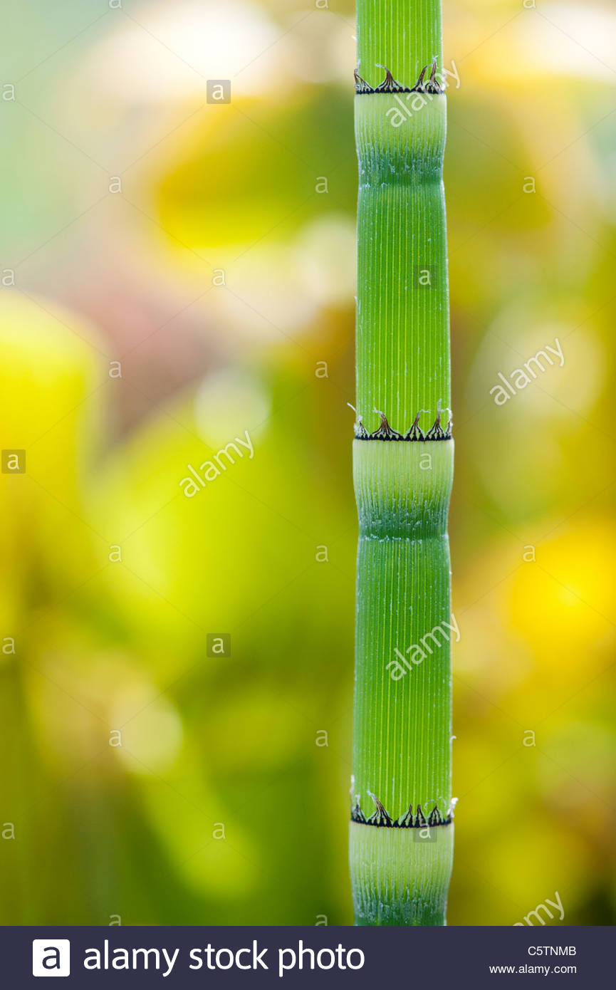 Equisetum Hyemale . Rough horsetail , Scouring Rush plant - Stock Image