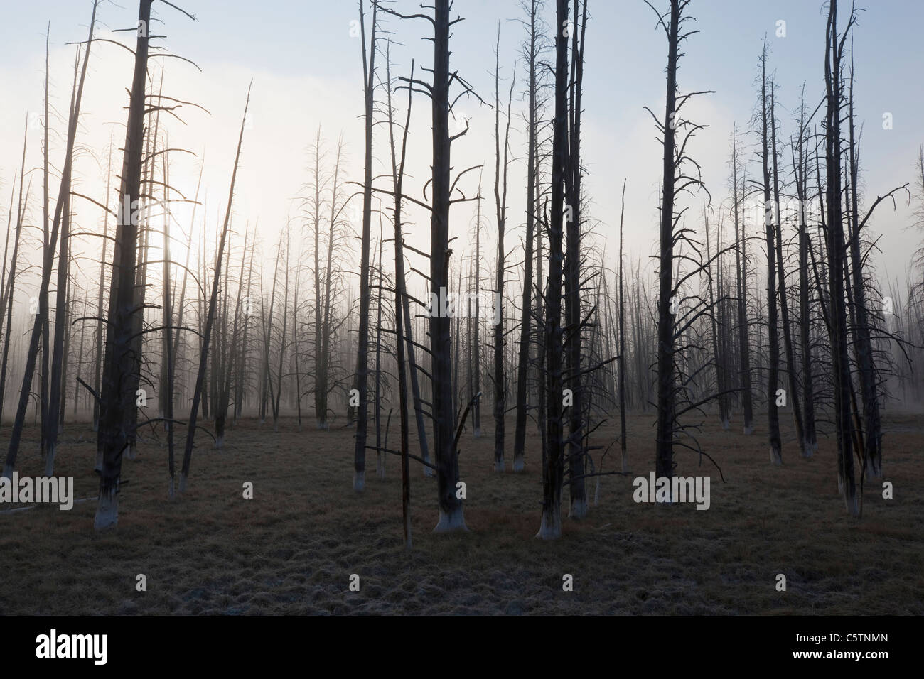 USA, Yellowstone Park, Dead trees in misty landscape - Stock Image