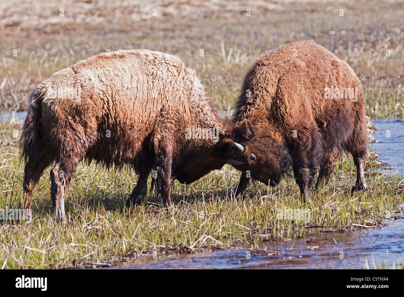USA, Yellowstone Park, American Bisons (Bison bison) squaring Off - Stock Image