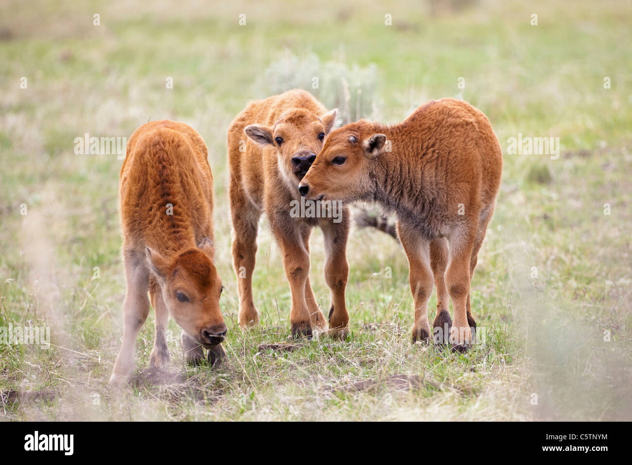 USA, Yellowstone Park, American bisons (Bison bison), three calves Stock Photo