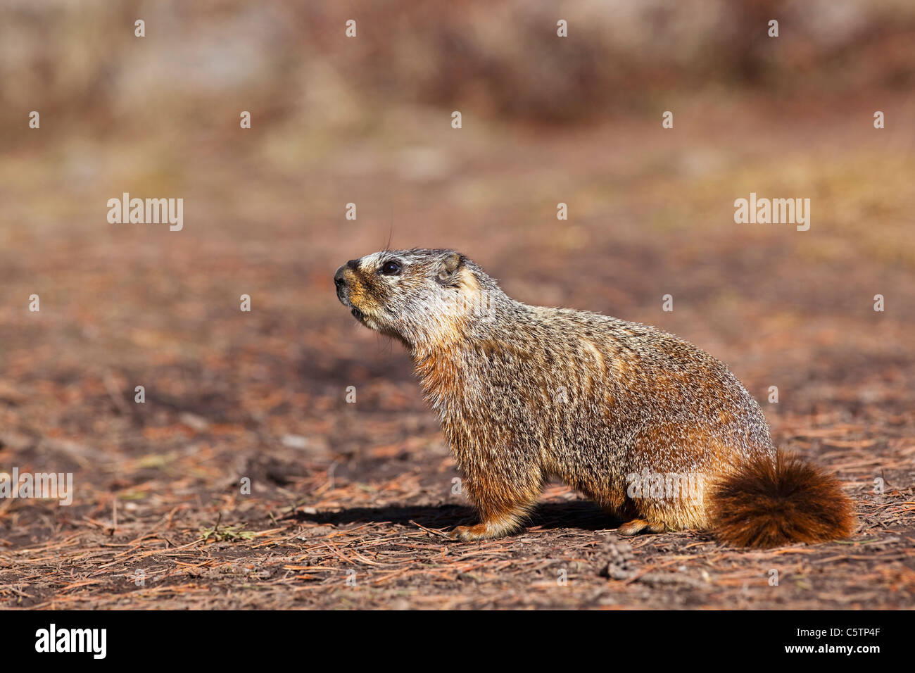 USA, Yellowstone Park, Groundhog (Marmota monax), close-up - Stock Image