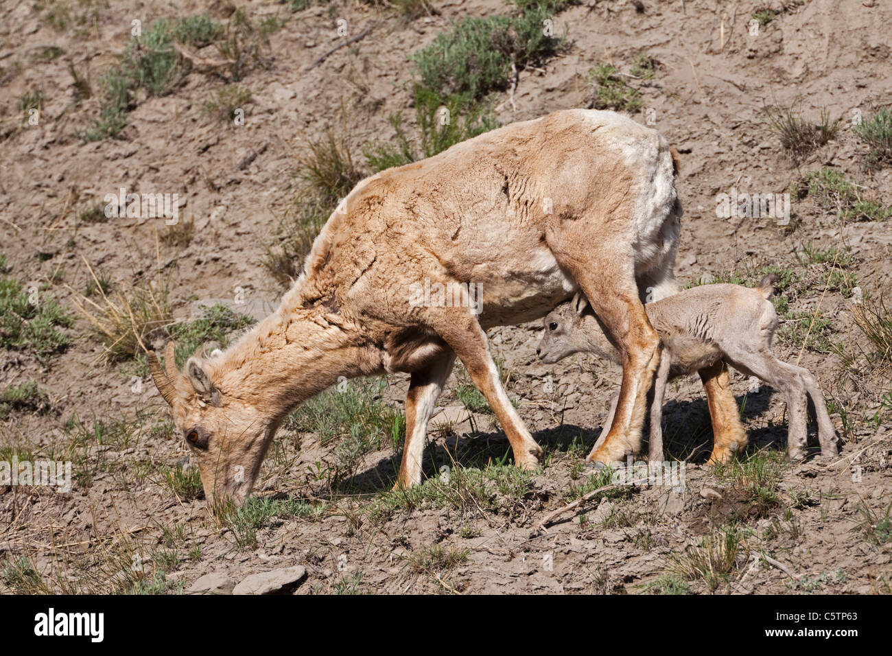 USA, Yellowstone Park, Big horn sheep (Ovis canadensis) with lamb - Stock Image
