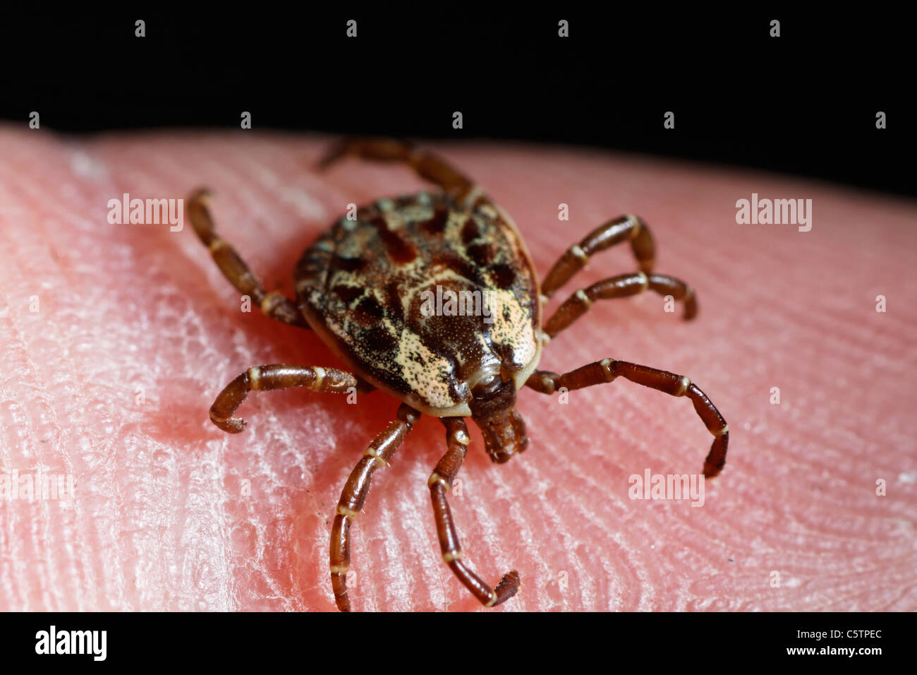 Costa Rica, tropical tick on skin - Stock Image