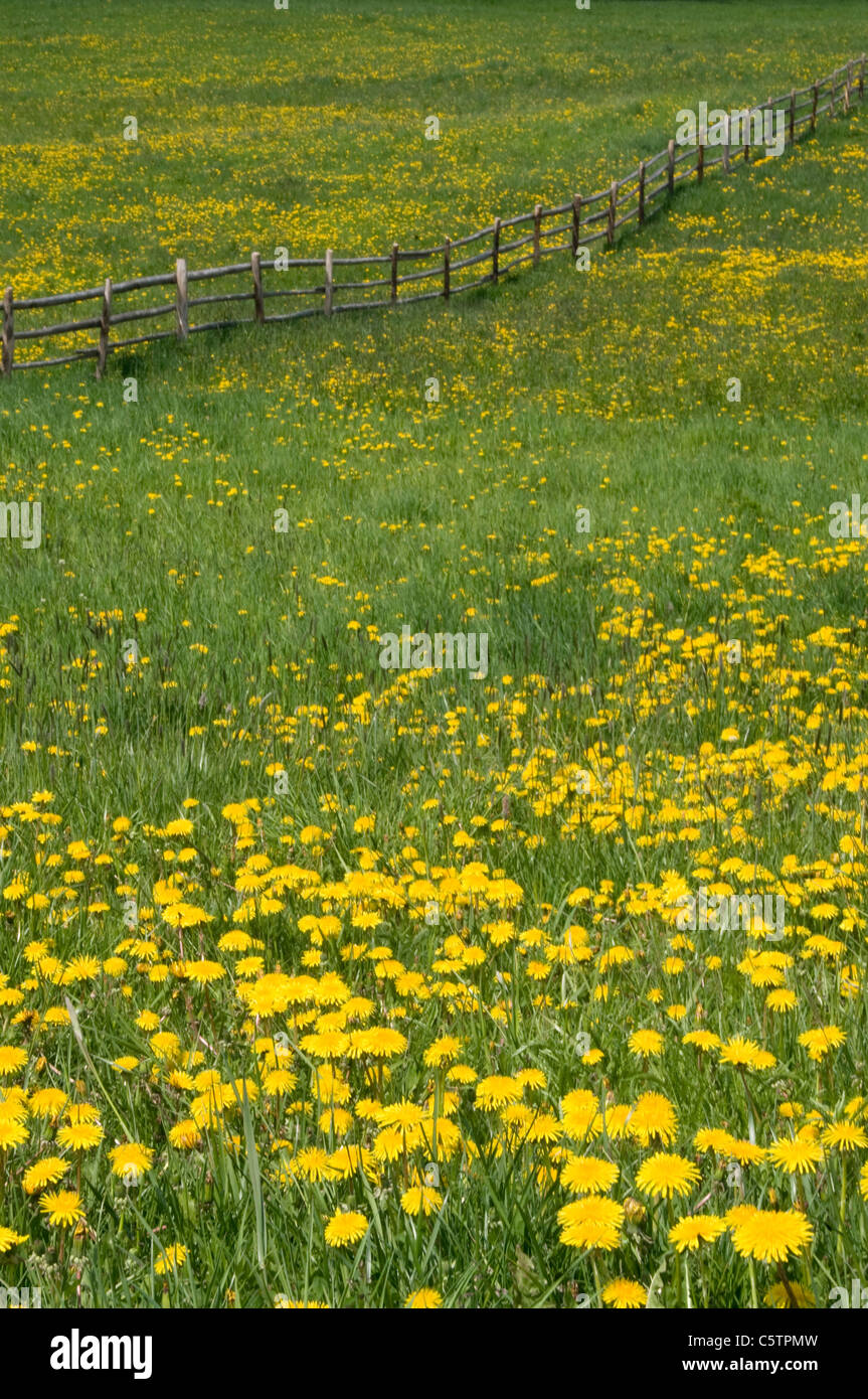 Italy, South Tyrol, Flowering meadow - Stock Image
