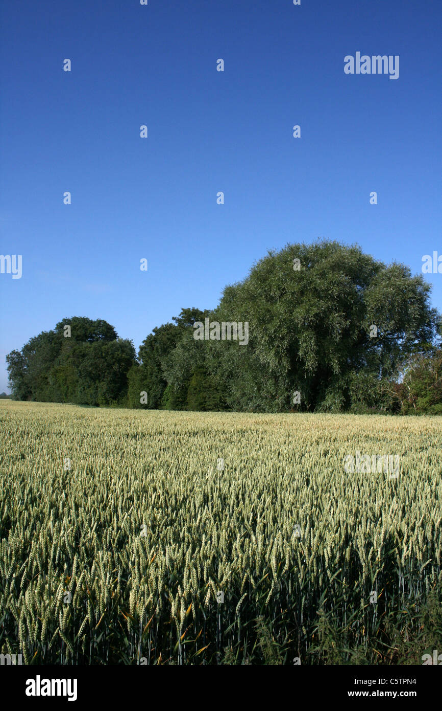 Lincolnshire Wheatfield Beneath A Blue Sky, UK - Stock Image