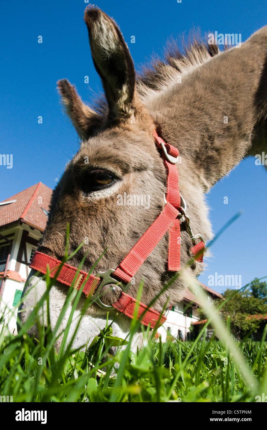 Portrait of donkey (Equus asinus asinus), close up Stock Photo