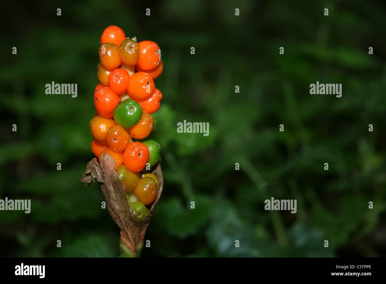 Ripening Berries Of Lords and Ladies Arum maculatum - Stock Image