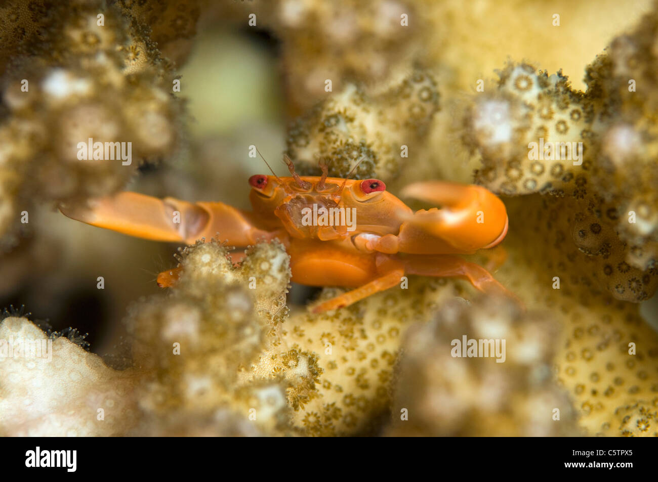 Egypt, Squat lobster (Galathea sp) on coral, close-up - Stock Image