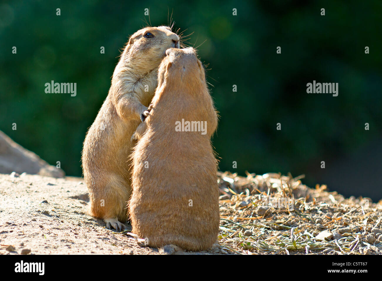 Two prairie dogs stock photos two prairie dogs stock images alamy two prairie dogs standing together holding each other stock image m4hsunfo