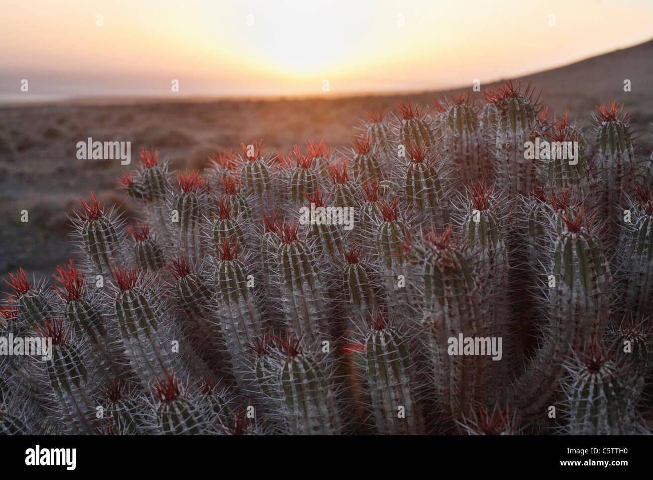 Spain, Canary Islands, Fuerteventura, Endemic plant on jandia - Stock Image