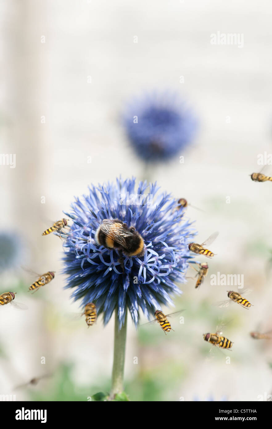 Bumblee and Hoverflies on and around Echinops ritro 'veitchs' (Globe Thistle) flower - Stock Image