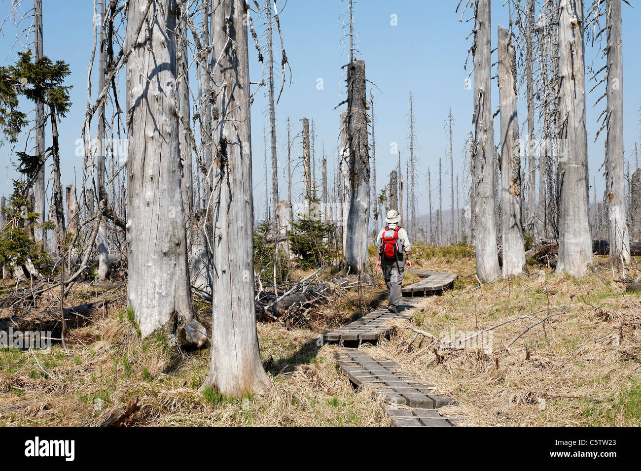 Germany, Bavaria, Lower Bavaria, Forest with dead spruces at bavarian forest, person walking on path - Stock Image