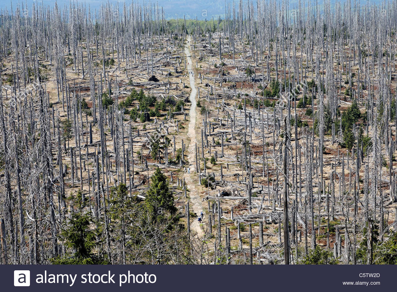 Germany, Bavaria, Lower Bavaria, Forest with dead spruces at bavarian forest - Stock Image