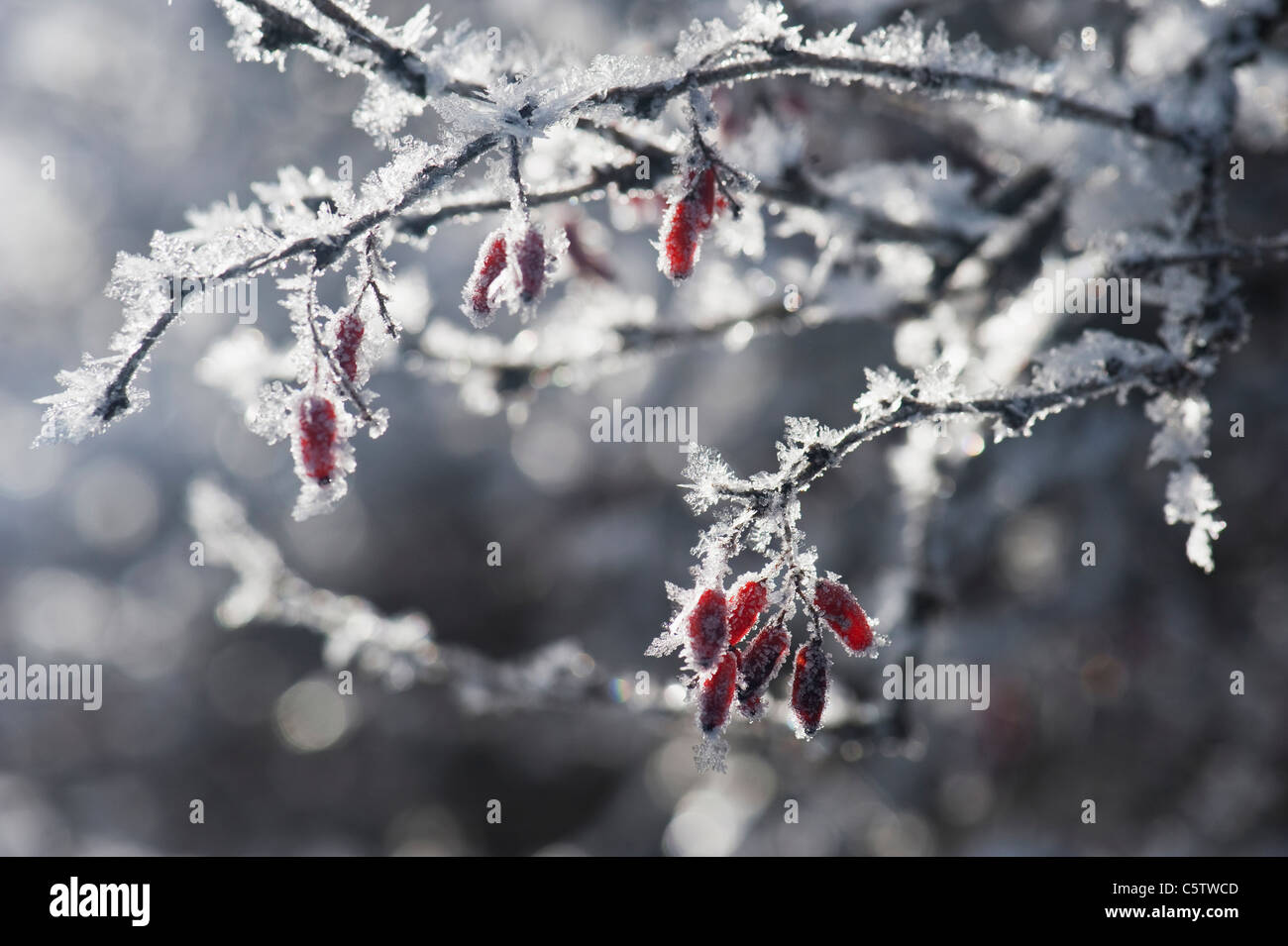Austria, Salzburger Land, Snow covered bush with red berries - Stock Image