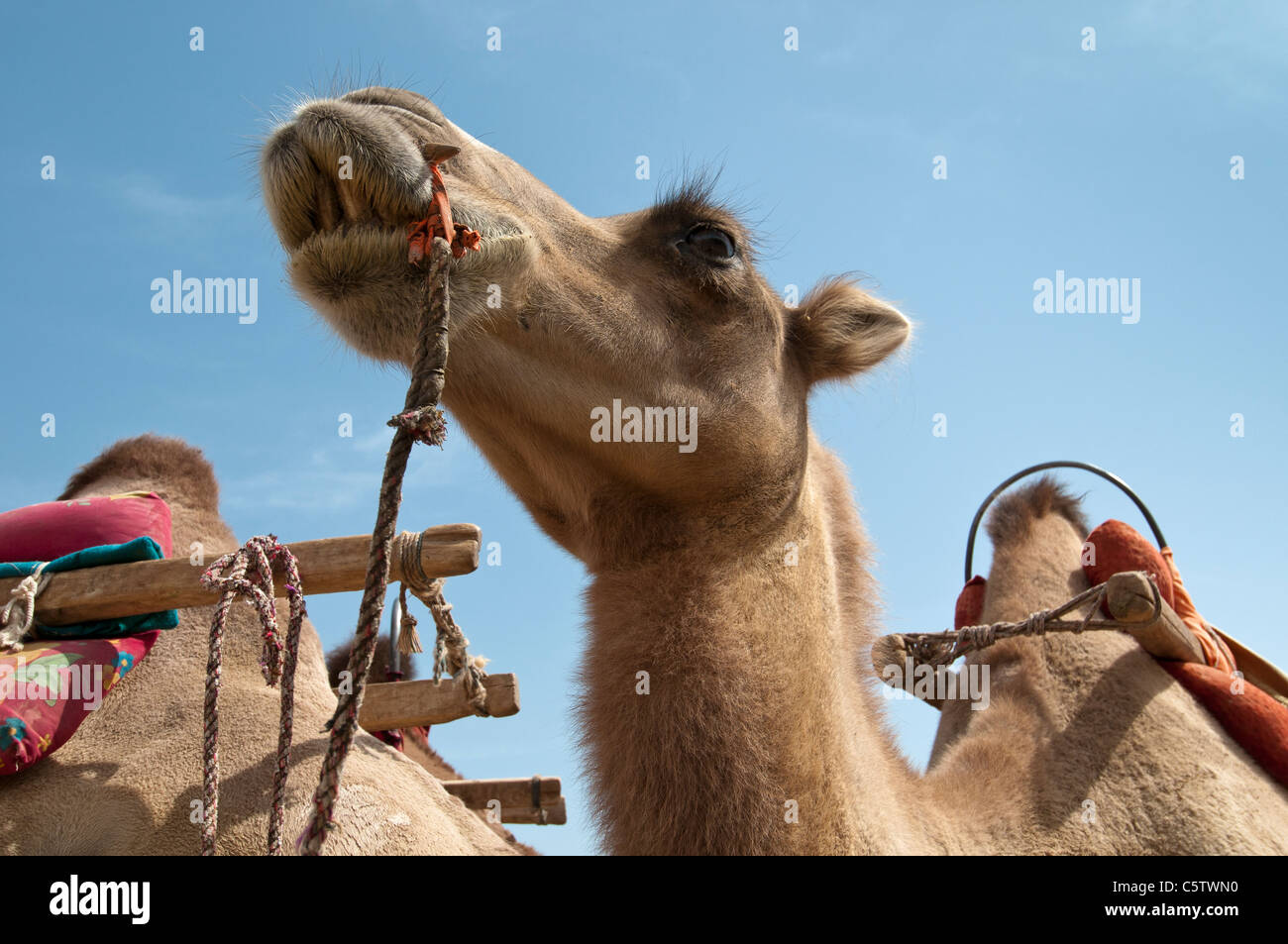 Camel waits for return of Chinese tourist it carried up the Mingsha Sand Dunes, Dunhuang, Gansu Province, China - Stock Image