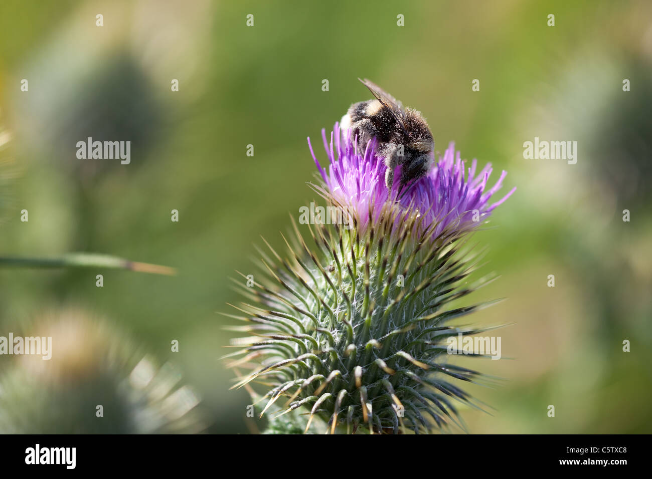 Bee covered in pollen gathering nectar from Scottish Thistle - Stock Image