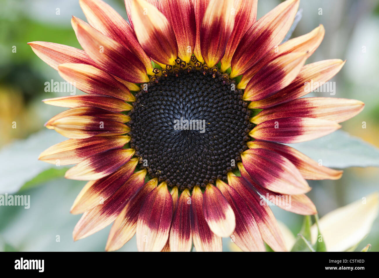Helianthus annuus. Sunflower pastiche - Stock Image