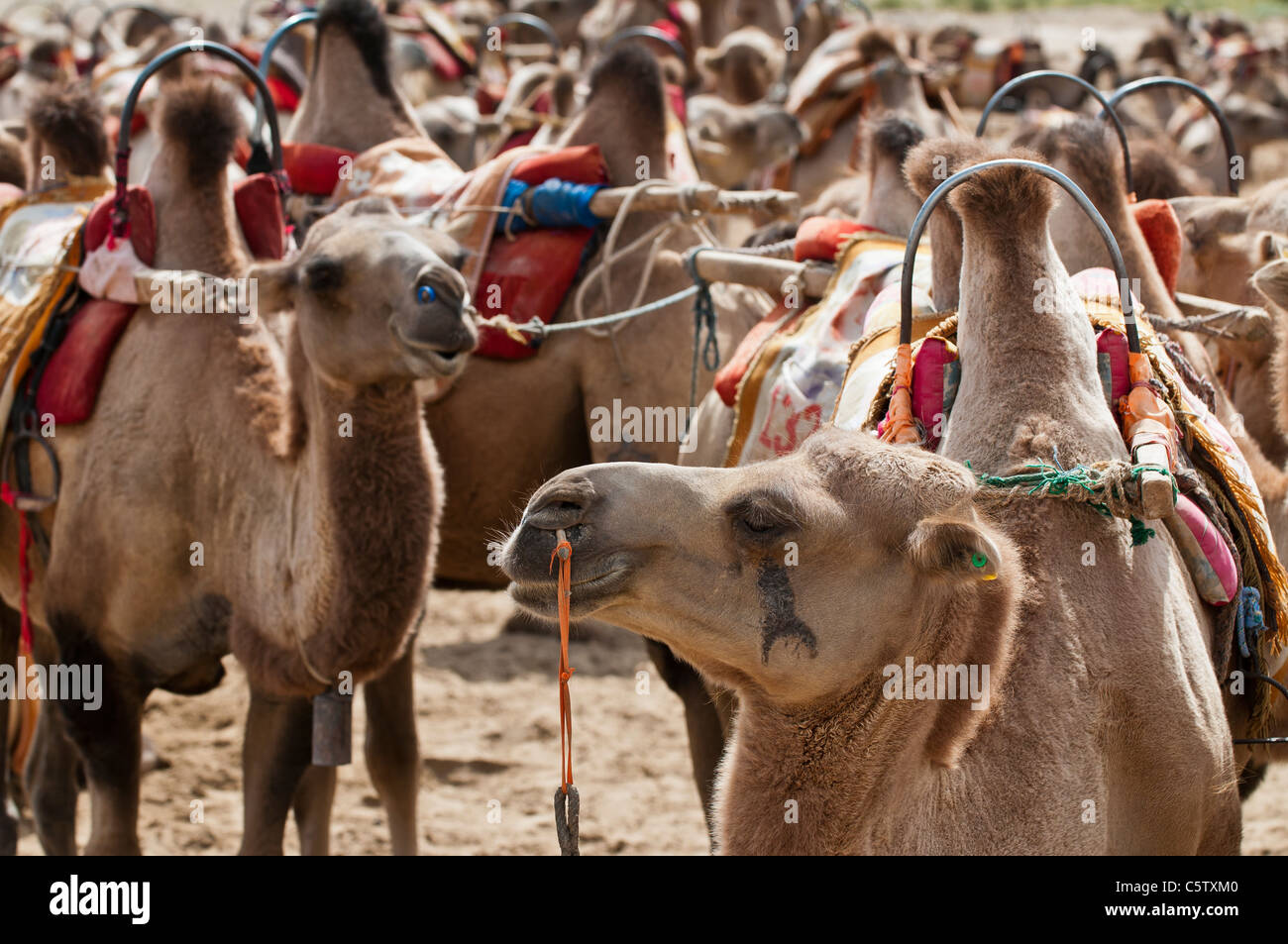 Herd of camels are parked awaiting tourists at Mingsha Sand Dunes, Dunhuang, Gansu Province, China - Stock Image