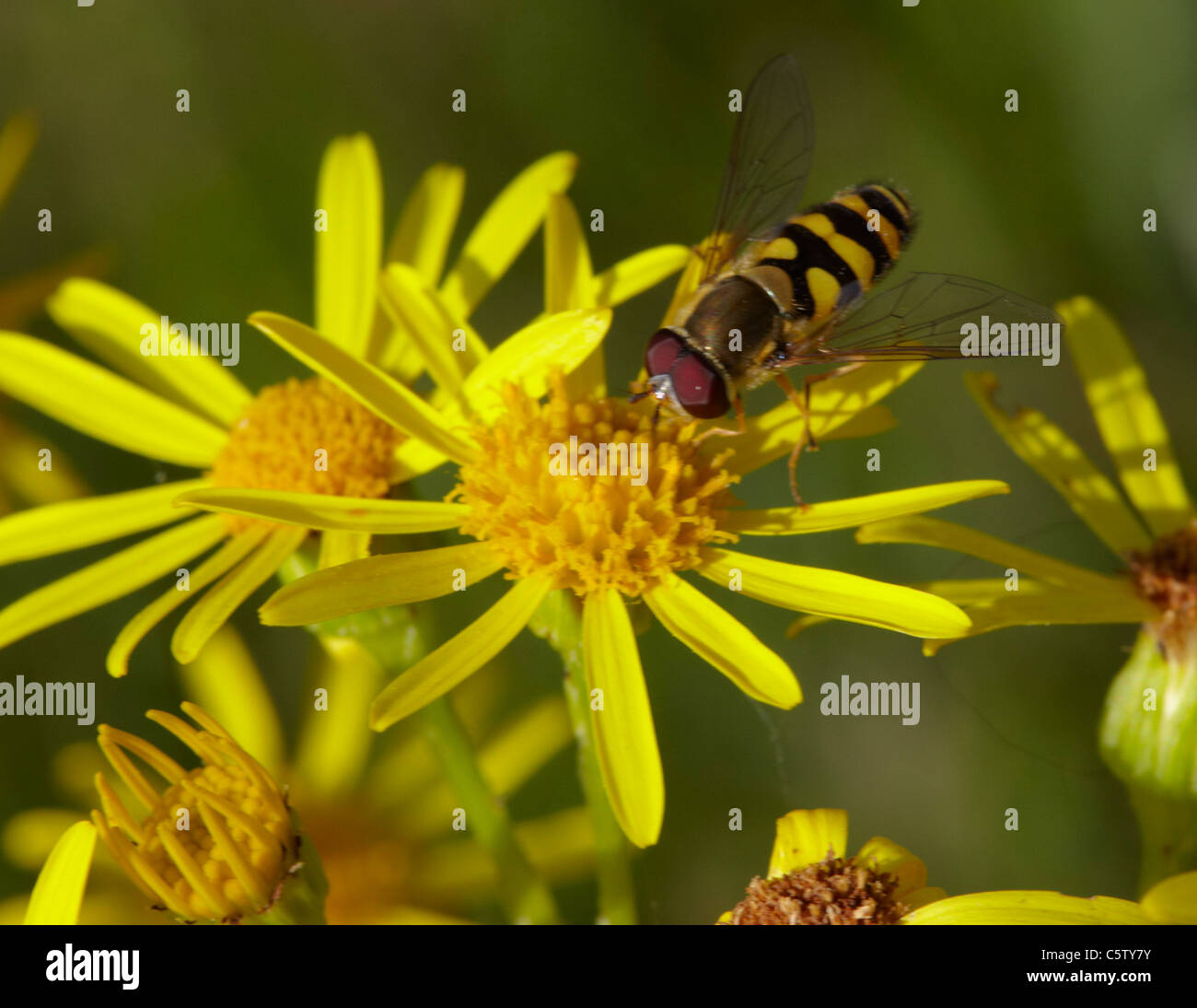 Hover Fly on Ragwort. Hurst Meadows, West Molesey, Surrey, England. - Stock Image