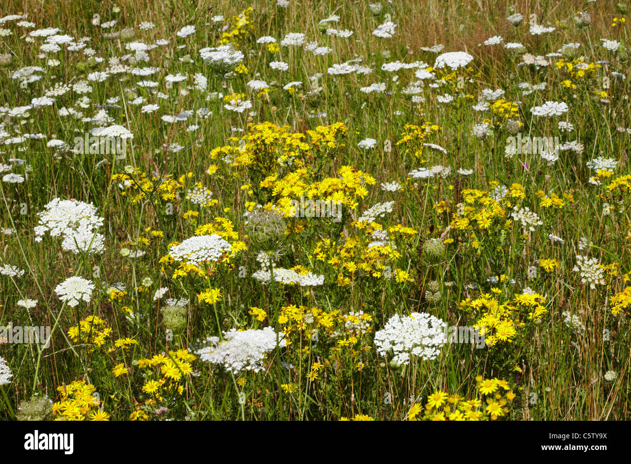 Wild flowers on Hurst Meadows, West Molesey, Surrey, England. - Stock Image