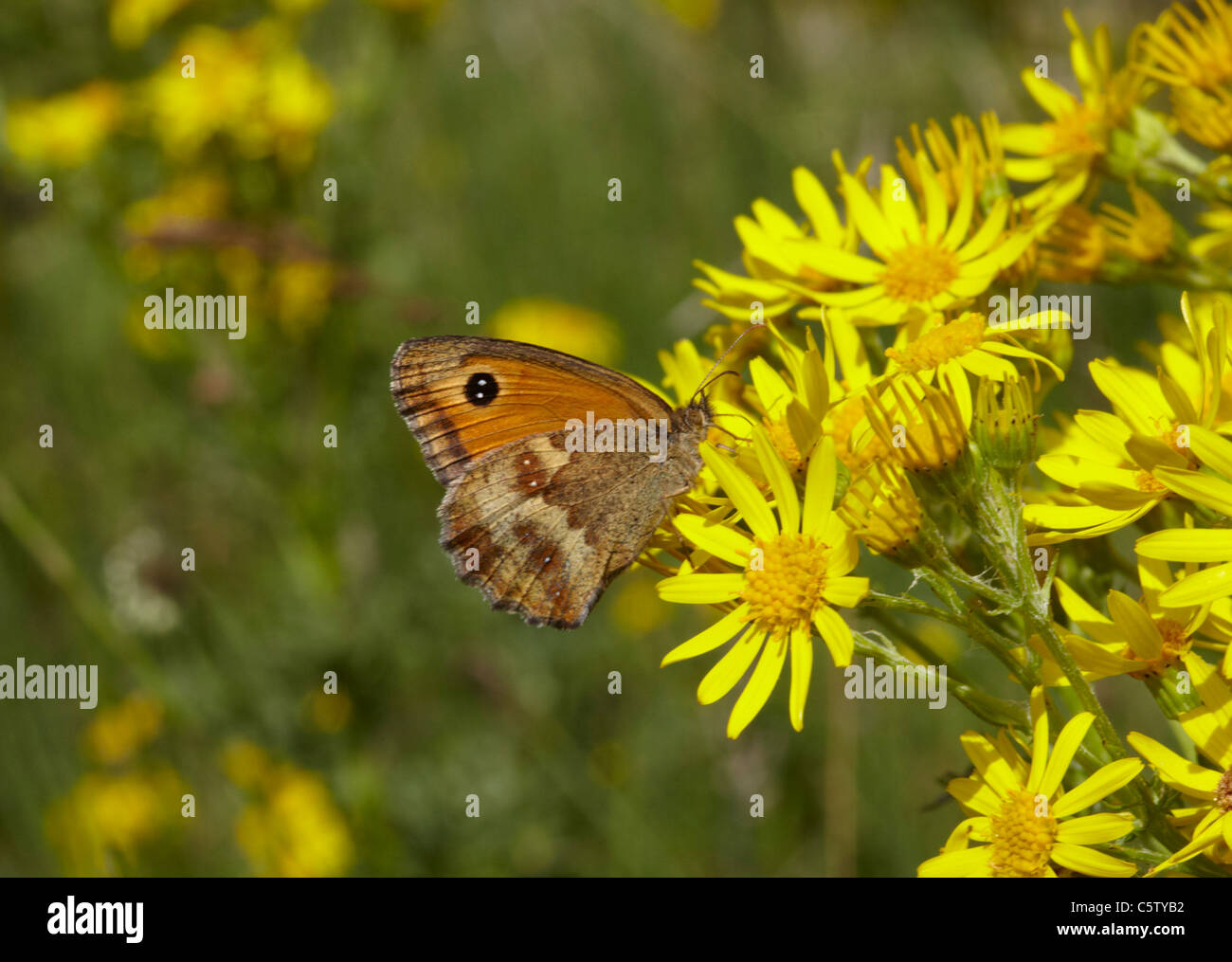 Gatekeeper butterfly on Ragwort. Hurst Meadows, West Molesey, Surrey, England. - Stock Image