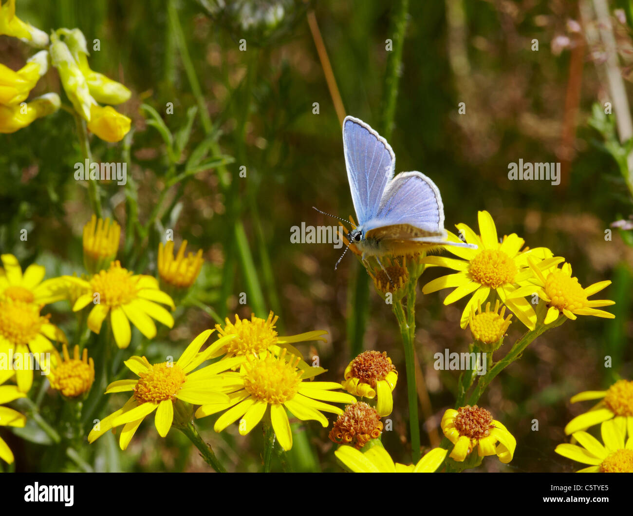 Common Blue butterfly on Ragwort. Hurst Meadows, West Molesey, Surrey, England. - Stock Image